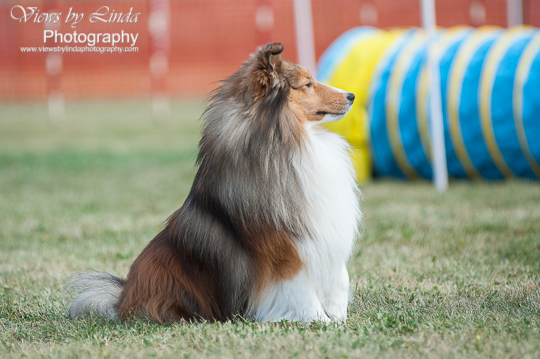 CanyonView Shelties   Breeder of Canadian Kennel Club